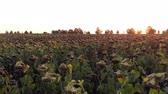 lucht : Flight over field of dried sunflower at the sunset 2 Stockvideo
