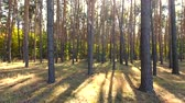 trough : flying trough forest. tree woods. sun flare. nature background
