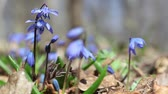 kar taneciği : blue snowdrops in spring wood Stok Video