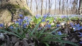 Blue snowdrops in spring wood
