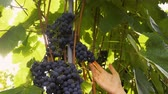 vino : Farmer Inspecting His Ripe Wine Grapes Ready For Harvest. Stock Footage
