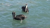 pták : Pelicans at a beach side