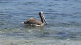 pelicans : Pelicans at a beach side