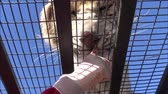 Feeding a white tiger at a Safari park