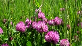 carmesim : Blooming clover on a lush summer meadow