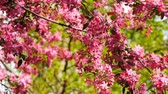 crab apple : Flowering crabapple blossoms on tree branches swinging in the wind. Stock Footage