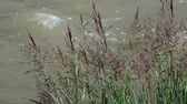 Purpurrotes Johnson-Gras, das im Wind schwingt (Sorghum halepense) Stock Footage