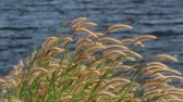 scene : Grass flowers in the wind