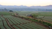 шалот : Shallots field with mountain background,Chiangmai  Thailand