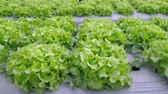 vegetable : Vegetable garden ,with plastic film protected in land,The plastic film used vegetable insulation and prevent weeds and soil erosion
