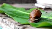 borgonha : Snail fast moving on green nature.