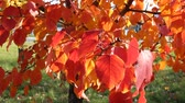 acero : red autumn leaves swaying in the wind, beautiful Sunny day, bright colors of autumn Filmati Stock