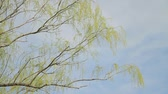 ambience : Weeping Willow  Sky