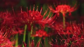 blooming : Hurricane lily in the forest close up back rack focus. Stock Footage