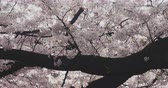 kiraz ağacı : Cherry bloom near Kanda river in Tokyo 4K Stok Video