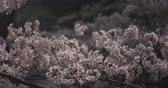 new day : Cherry bloom near Kanda river in Tokyo 4K Stock Footage