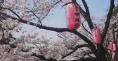 botanický : Cherry bloom and lantern near Kanda river in Tokyo