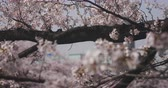 new day : Cherry blossom near Kanda river in Tokyo 4K Stock Footage