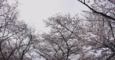 kafa : Cherry blossom at the park in Tokyo 4K tracking shot Stok Video