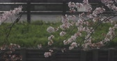 kvetoucí : Cherry bloom near Koedo river at Kawagoe Saitama 4K