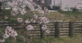 new day : Cherry blossom near Koedo river at Kawagoe Saitama 4K Stock Footage