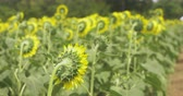 blooming : Sunflower field. Tachikawa, Tokyo, Japan. Its a nature location in Tokyo.