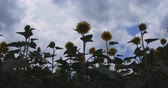 ботаника : Sunflower in the park at Tachikawa low angle center position Стоковые видеозаписи
