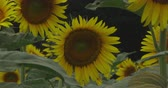 подсолнечник : Sunflower in the park at Tachikawa Tokyo