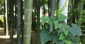 ботаника : Bamboo and ivy at Chikurin park close shot
