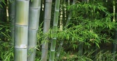 postoj : Bamboo forest at Chikurin park