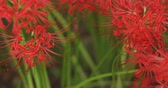 dreamy : Cluster amaryllis in the forest in Kinchakuda right tracking shot