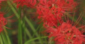 solemnity : Cluster amaryllis in the park in Kinchakuda close shot