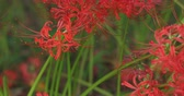 aranha : Cluster amaryllis in the park in Kinchakuda close shot