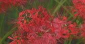 new day : Cluster amaryllis in the park in Kinchakuda close shot