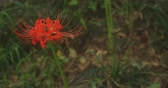 solemnity : Hurricane lilies in the park in Kinchakuda close shot
