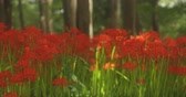 dreamy : Hurricane lily in the field in Kinchakuda close shot Stock Footage