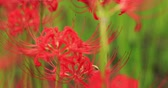 クモ : Red spider lily in the forest in Kinchakuda handheld