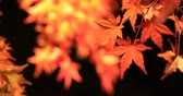 kansai : Illuminated red leaves at the traditional park at Eikandou in Kyoto Japan autumn