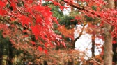 kansai : Red leaves in autumn at Bishamondou at Yamashina district in Kyoto close shot Stock Footage