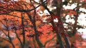 quioto : Red leaves in autumn at Bishamondou at Yamashina district in Kyoto close shot Vídeos