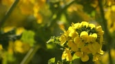 рапсовое : Bee and Canola flower in the field at Azumayama park in Shounan Kanagawa