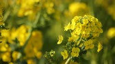 рапсовое : Canola flower garden at Azumayama park in Shounan Kanagawa close up