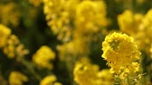 масличные культуры : Canola flower garden at Azumayama park in Shounan Kanagawa close up handheld