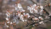 сакура : Cherry blossom at the park in Tokyo