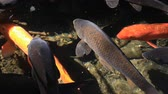 pat : Swimming carp in the pond closeup Stock Footage