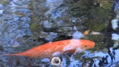 開発する : Swimming carp in the pond