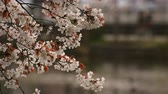 april : Cherry blossom at the park daytime cloudy Stock Footage