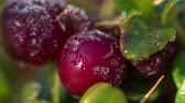 cowberry : Frost melting on cow-berry plant leaves, full HD Stock Footage