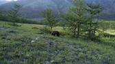 ursus : Wild mother brown bear and cub by forest Stock Footage