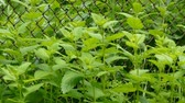 melisa : Lemon balm herb. Melissa officinalis
